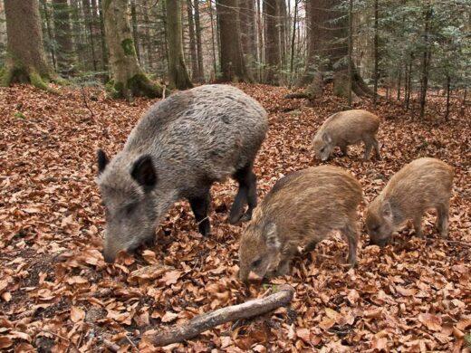 In Umbria nuove regole per la caccia al Cinghiale e il contenimento dei danni all'agricoltura