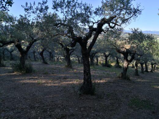 La raccolta delle olive, un lavoro faticoso che porta sempre ad una soddisfazione.